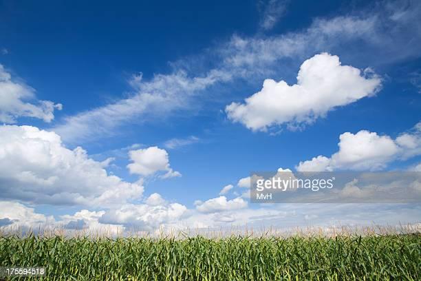 corn field y cielo de verano