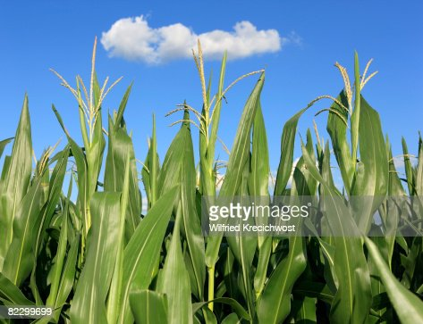 corn field, close up : Stock Photo
