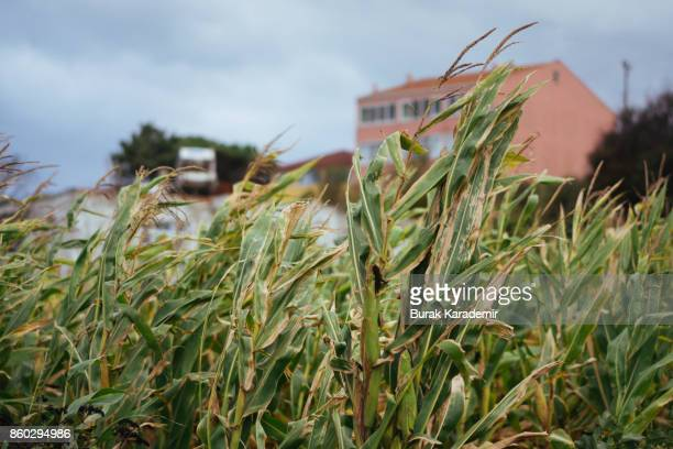 Corn field in front of a building on cloudy day