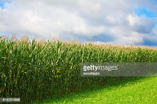 Corn field : Stock Photo