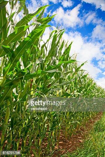 Campo de Milho : Foto de stock
