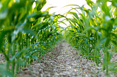 Corn Field in a Row.