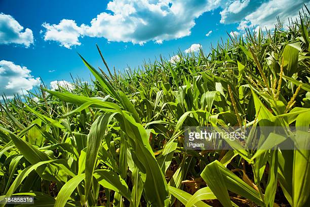Corn field under the summer sun