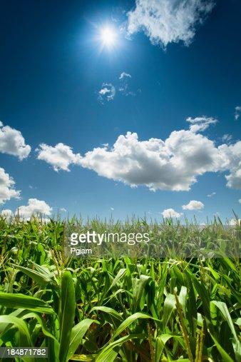 Corn field under the summer sun