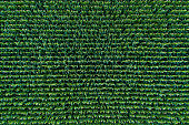 Corn field view from above. Green corn sprouts in a rows. Pattern of maize field.
