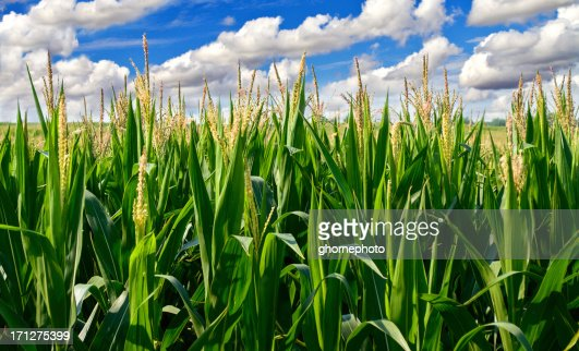 Corn field with clouds