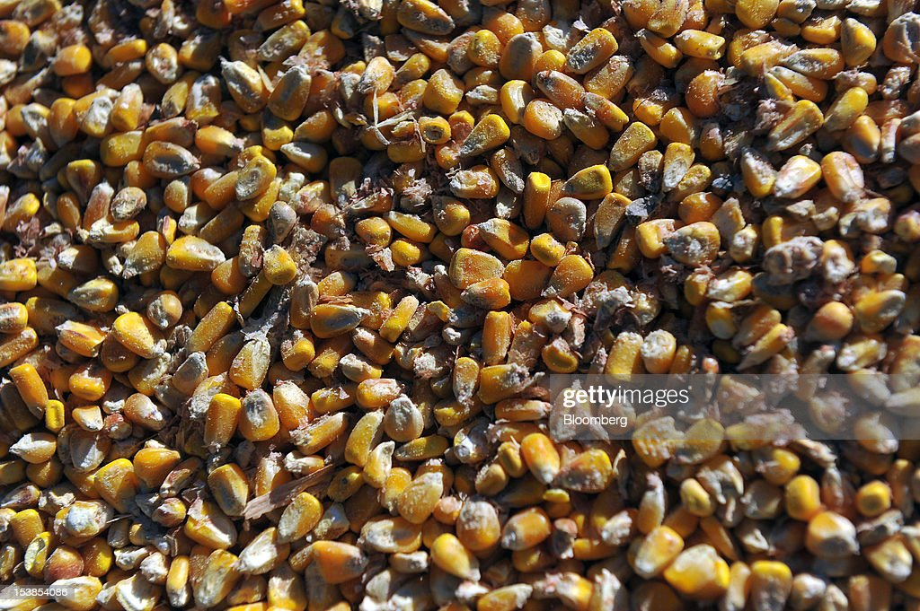 Corn grains are seen before shipping at Granexport AD port, part of MK Group, on the Danube river in Pancevo, Serbia, on Tuesday, Oct. 9, 2012. Goods volumes on Europe's longest river after the Volga are 80 percent lower than on the Rhine, the region's busiest waterway, according to EU figures. Photographer: Oliver Bunic/Bloomberg via Getty Images