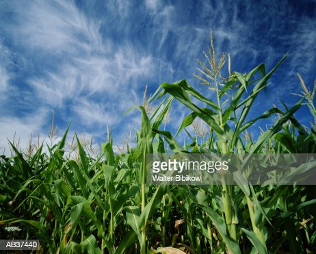 Corn growing in field, summer, low angle view : Stock Photo