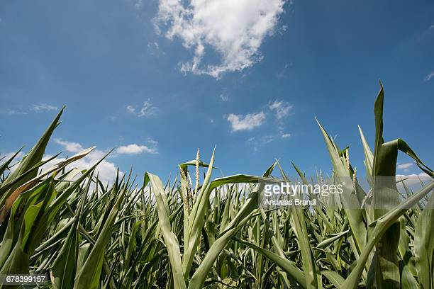 Corn growing under a blue sky, Baden-Wurttemberg, Germany, Europe