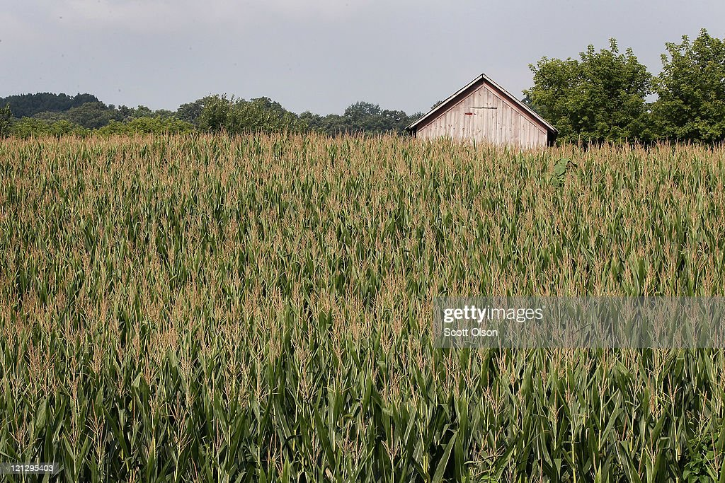 Corn grows in a field August 17 2011 near St Olaf Iowa High grain prices and increasing yields have been an economic windfall for farmers who saw an...