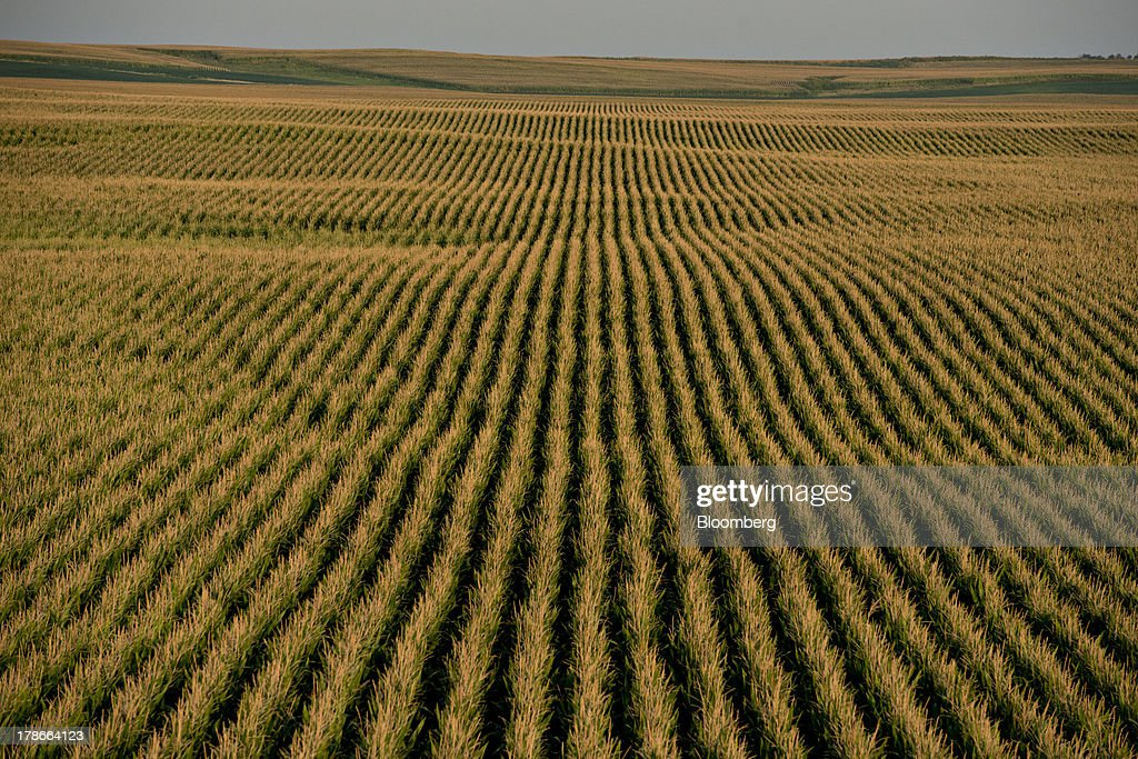 Corn grows in a field outside of Wyanet, Illinois, U.S., on Wednesday, Aug. 28, 2013. Wheat futures fell for a third straight day on signs of slack demand for inventories from the U.S., the worlds largest exporter, while soybeans dropped and corn gained. Photographer: Daniel Acker/Bloomberg via Getty Images