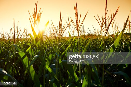 corn grows in field on summer day of agriculture : Stock Photo