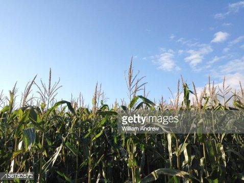 Corn in field : Stock Photo