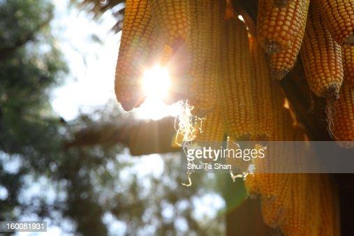 corn in harvest : Stock Photo