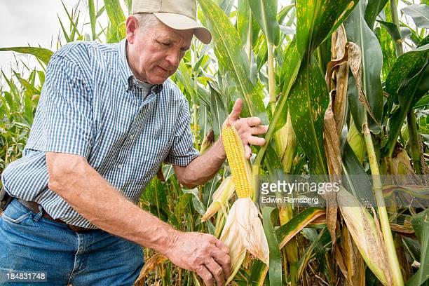 Corn inspection