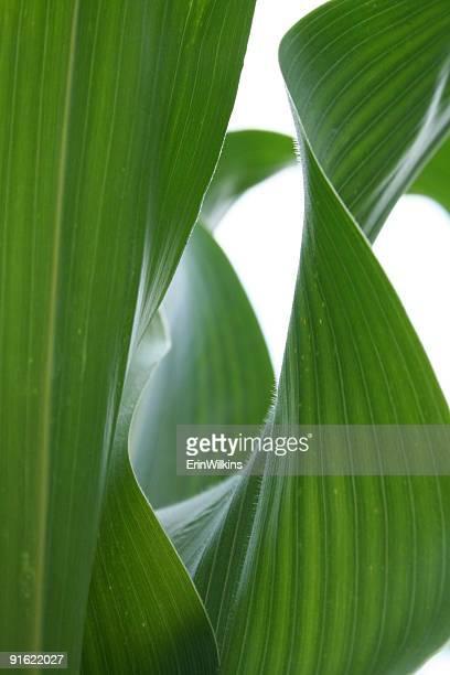 Feuilles de maïs