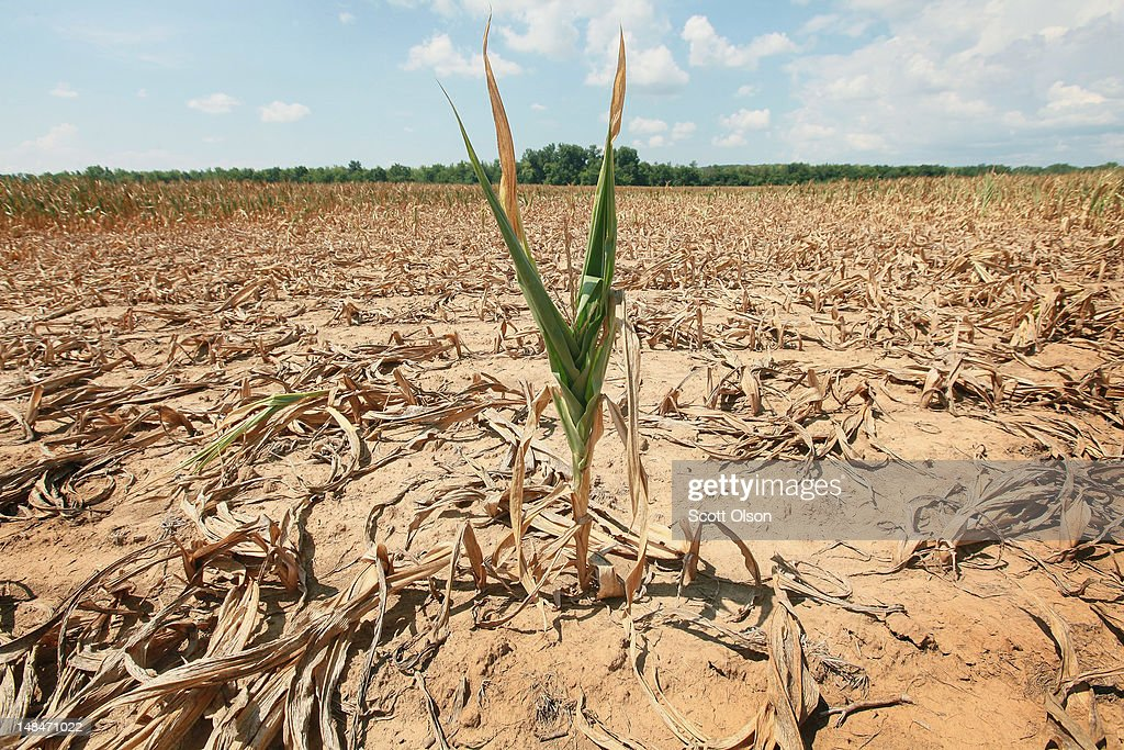 A corn plant struggles to survive in a drought-stricken farm field on July 16, 2012 near Shawneetown, Illinois. The corn and soybean belt in the middle of the nation is experiencing one of the worst droughts in more than five decades. According to the Illinois Department of Agriculture 48 percent of the state's corn crop is currently in poor to very poor condition. Illinois is the second largest producer of corn in the United States behind Iowa.