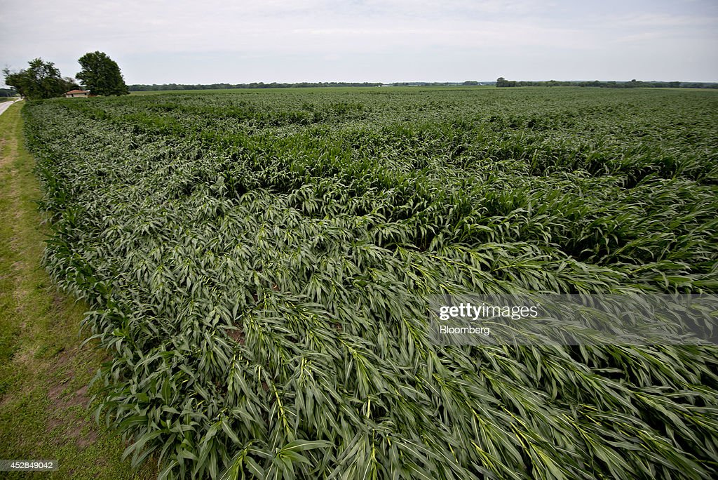 Corn plants blown over by high winds lay in a field near Tiskilwa, Illinois, U.S., on Tuesday, July 1, 2014. A powerful wind storm, known as a derecho, swept from the Midwest to the western Great Lakes yesterday, bringing devastating wind gusts, reported tornadoes and heavy rain into Illinois, Iowa, and Nebraska according to Weather.com. Despite the weather, corn fell for a third day to trade near the lowest level in more than five months on expectations that a record U.S. harvest of the grain will boost supplies for the top exporter. Photographer: Daniel Acker/Bloomberg via Getty Images