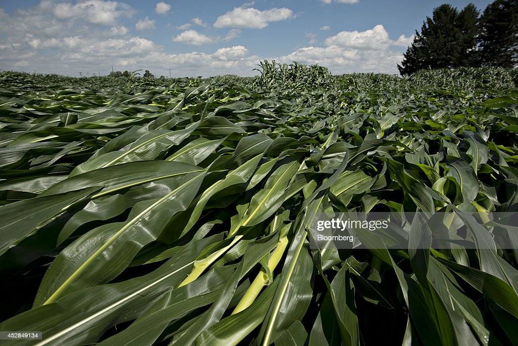 Corn plants blown over by high winds lay in a field near Wyanet, Illinois, U.S., on Tuesday, July 1, 2014. A powerful wind storm, known as a derecho, swept from the Midwest to the western Great Lakes yesterday, bringing devastating wind gusts, reported tornadoes and heavy rain into Illinois, Iowa, and Nebraska according to Weather.com. Despite the weather, corn fell for a third day to trade near the lowest level in more than five months on expectations that a record U.S. harvest of the grain will boost supplies for the top exporter. Photographer: Daniel Acker/Bloomberg via Getty Images