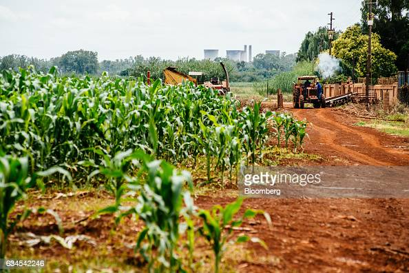 Corn plants damaged by an infestation of fall armyworms also known as Spodoptera frugiperda sit on a farm north of Pretoria South Africa on Friday...