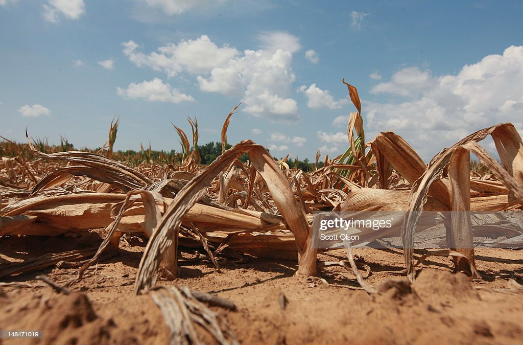Corn plants dry in a drought-stricken farm field on July 16, 2012 near Shawneetown, Illinois. The corn and soybean belt in the middle of the nation is experiencing one of the worst droughts in more than five decades. According to the Illinois Department of Agriculture 48 percent of the state's corn crop is currently in poor to very poor condition. Illinois is the second largest producer of corn in the United States behind Iowa.
