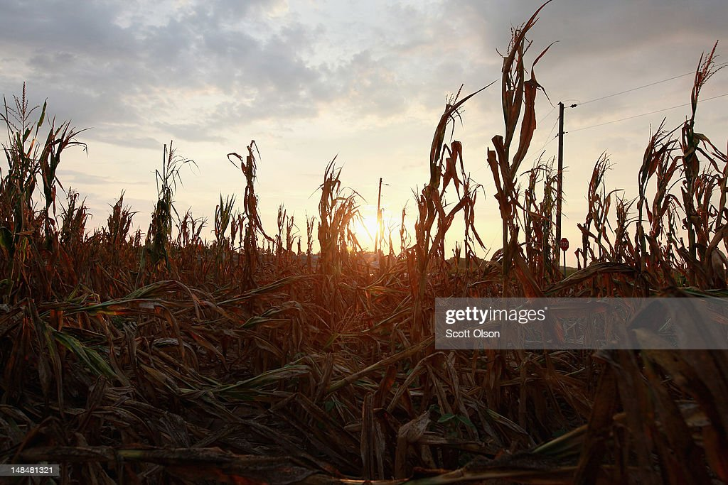 Corn plants dry in a drought-stricken farm field on July 17, 2012 near Fritchton, Indiana. The corn and soybean belt in the middle of the nation is experiencing one of the worst droughts in more than five decades. Indiana was the nation's fourth largest corn producer in 2011.