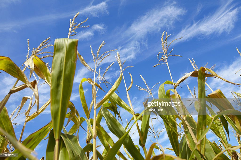 corn plants grow in the sun with sunny blue sky
