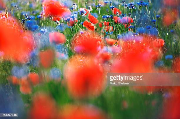 Corn poppies field