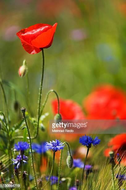 Corn Poppy, Field Poppy, Flanders Poppy or Red Poppy (Papaver rhoeas), Cornflower (Centaurea cyanus)