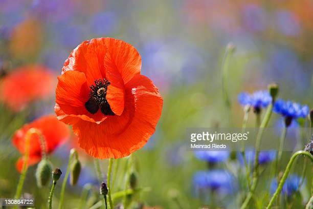 Corn Poppy, Field Poppy, Flanders Poppy or Red Poppy (Papaver rhoeas), Cornflowers (Centaurea cyanus)