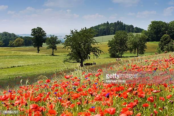 Corn Poppy, Field Poppy, Flanders Poppy or Red Poppy (Papaver rhoeas), Fribourg, Switzerland, Europe