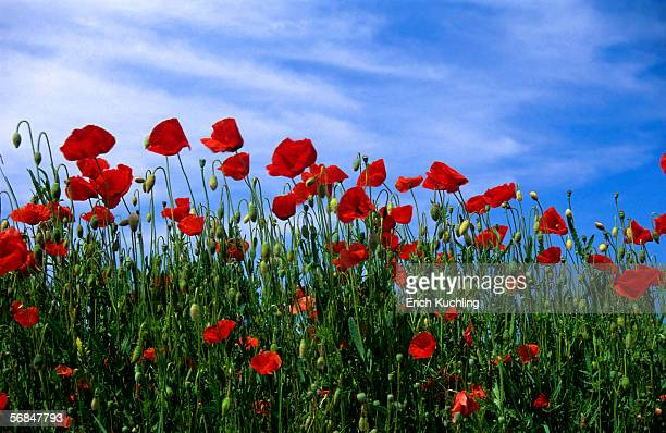 Red poppies field, low angle view