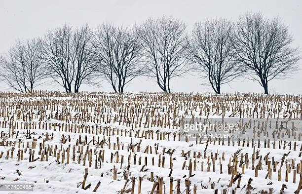 Corn shoots are seen in a snowy in a snowy countryside on December 4 2010 in Godewaersvelde northern France region where black ice is forecast today...