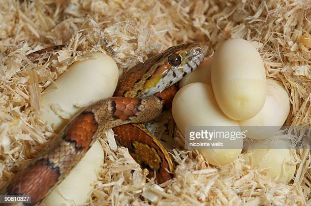 Corn Snake laying eggs