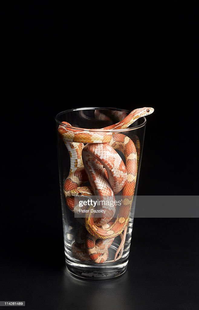 Corn snakes in pint glass : Stock Photo