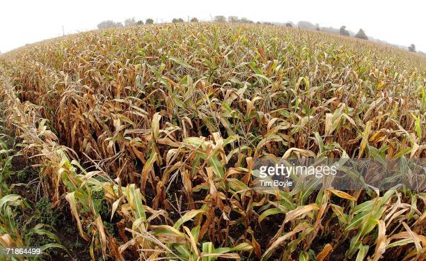 Corn stalks are seen on a farm September 12 2006 in Lincolnshire Illinois Reportedly forecasters are stating that this year's harvest could be next...