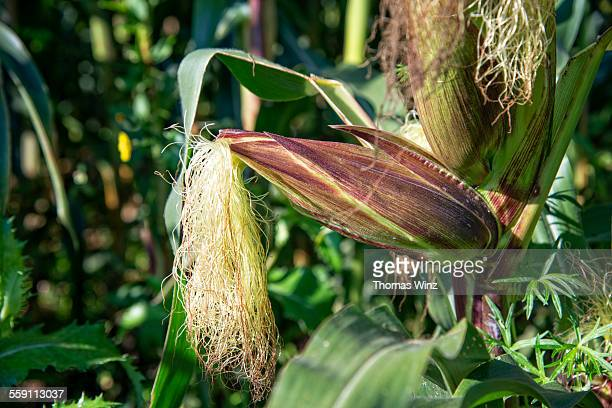 Corn with husk on in a field
