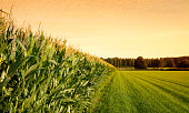 Cornfield with farmland  at sunset.