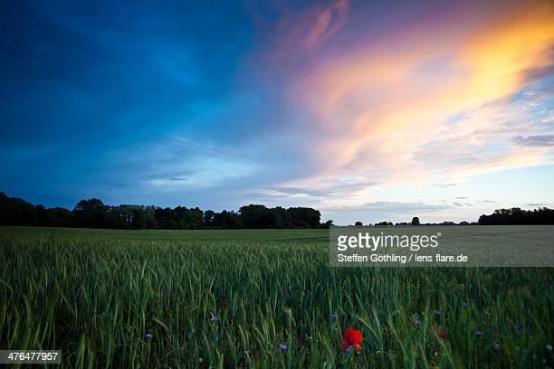 Cornfield in Spring