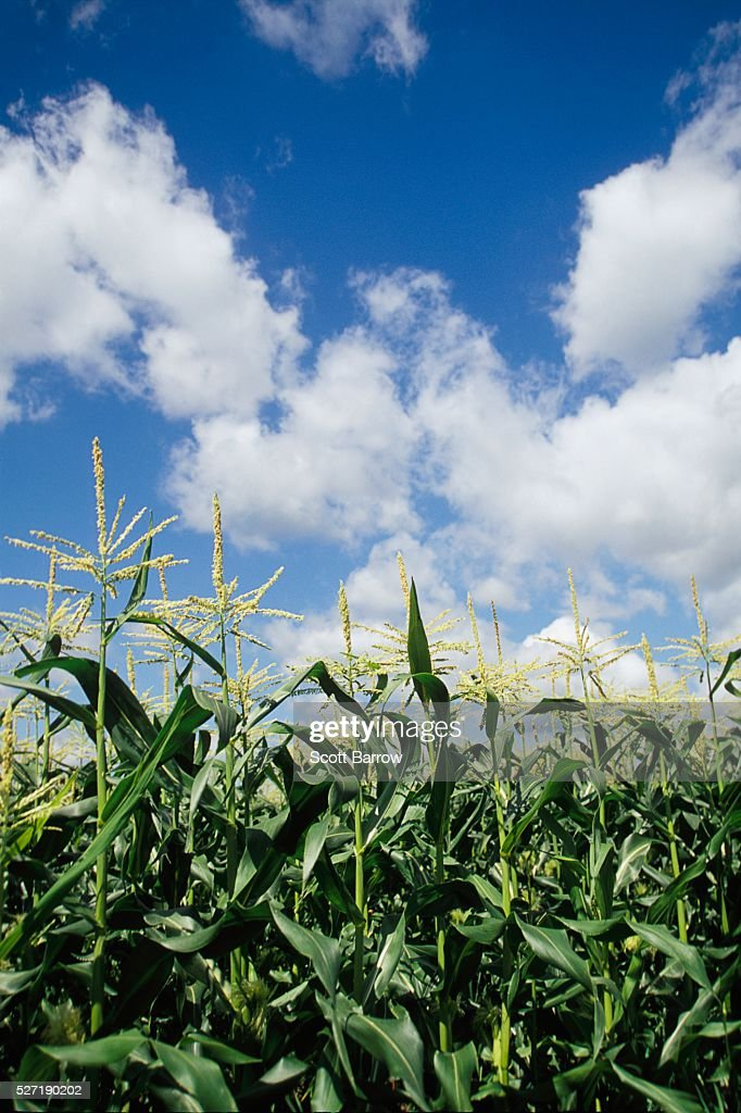 Cornfield : Stock Photo