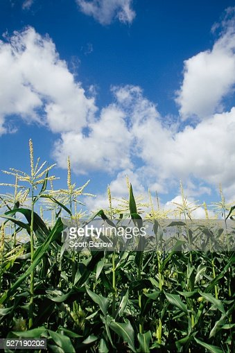 Cornfield : Stock Photo