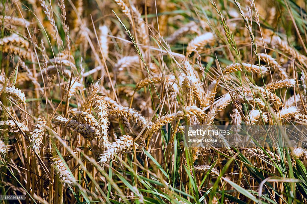 Cornfield ready for harvesting : Stock Photo