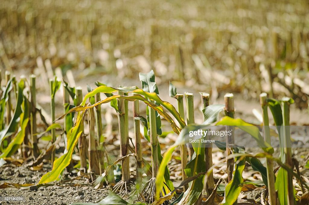 Cornfield stubble : Stock Photo