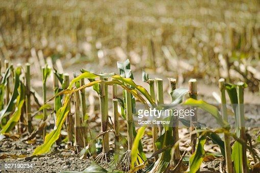 Cornfield stubble : Stock Photo