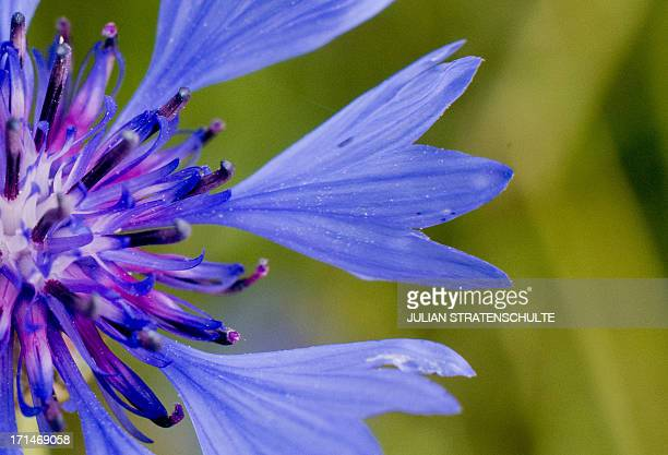 A cornflower blooms on a field near Mariental and Helmstedt central Germany on June 24 2013 AFP PHOTO / DPA / JULIAN STRATENSCHULTE / GERMANY OUT