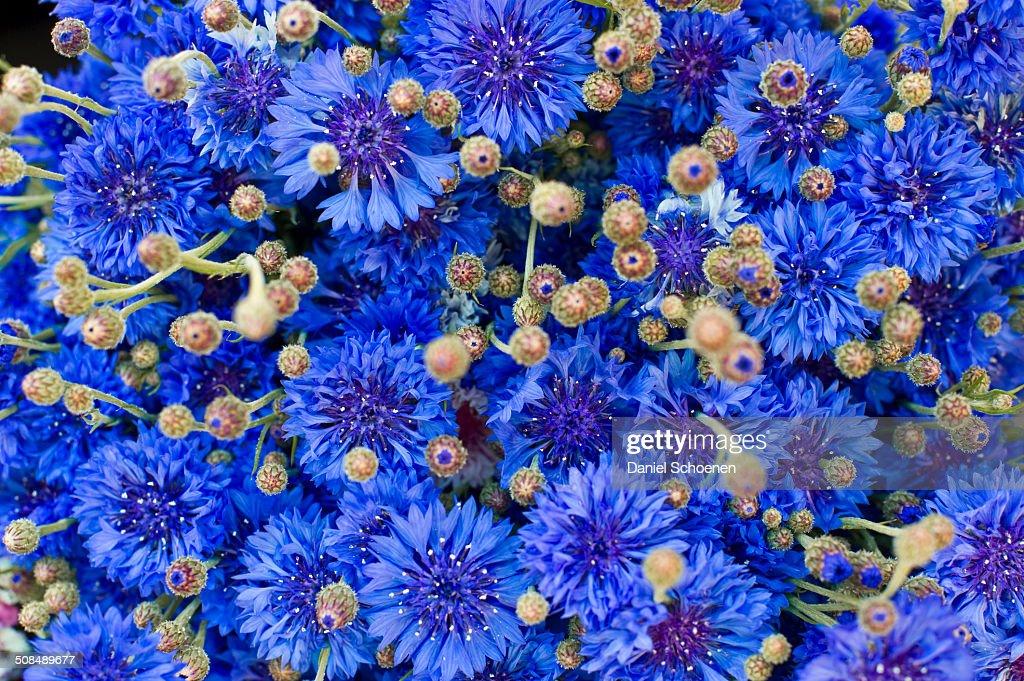 Cornflower -Centaurea cyanus-