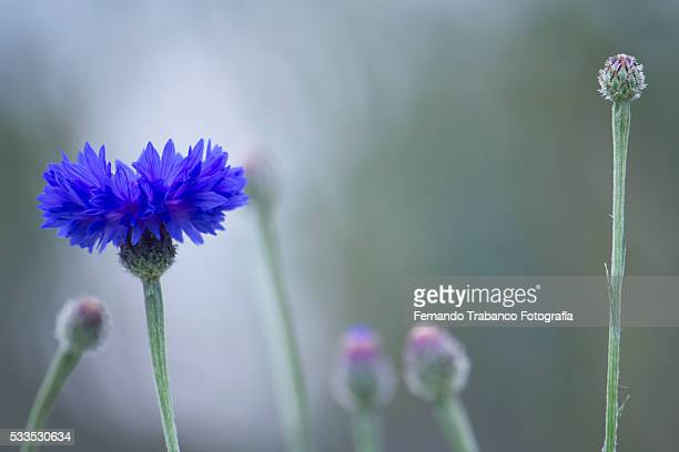 Cornflower In Bloom