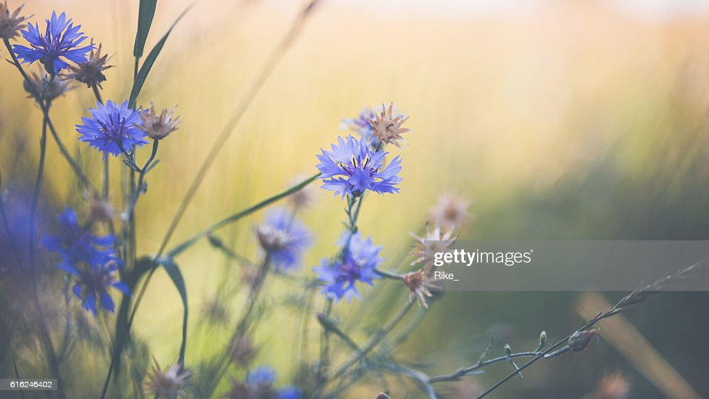 Cornflower in summer : Stock Photo