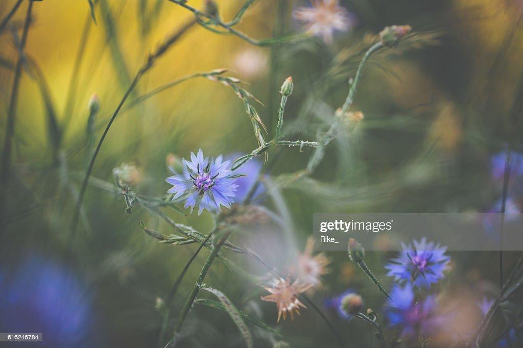 Cornflower in summer : Stock Photo