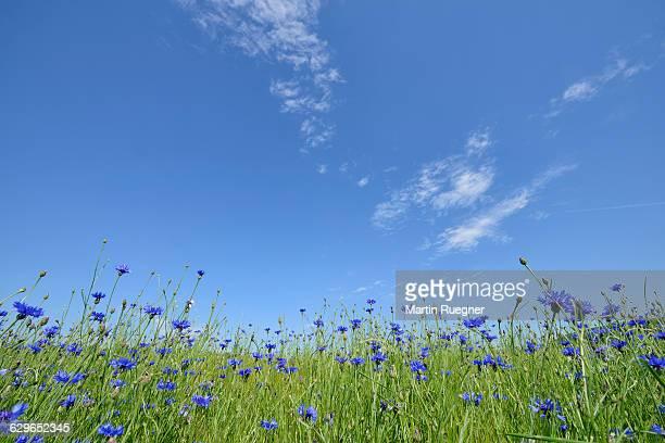 Cornflower (Centaurea cyanus) in wheat field.